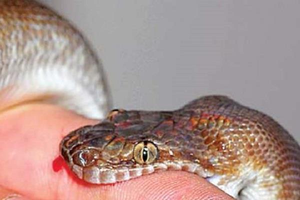 Loài rắn độc nhất TQ: 1 miligam nọc là đủ giết người, hổ mang chúa cũng khiếp sợ nhưng tính tình lại rất tương phản - Ảnh 5.