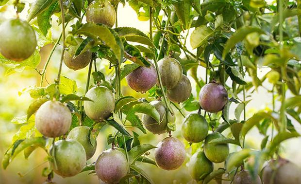 3 loại quả ở Việt Nam mọc dại đầy đường, sang nước ngoài thành của ngon vật lạ bán trong siêu thị gần 1 triệu đồng/kg - Ảnh 4.