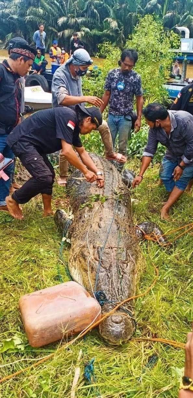 Indonesia: Mổ bụng cá sấu khổng lồ 8m, thấy cảnh tượng đau lòng - Ảnh 1.