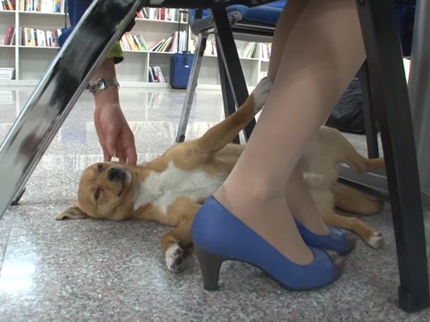 Chú chó mê gái khét tiếng ở sân bay Hàn Quốc: Thấy tiếp viên nữ là sấn sổ bổ nhào, gặp tiếp viên nam thì thờ ơ tránh né - Ảnh 6.