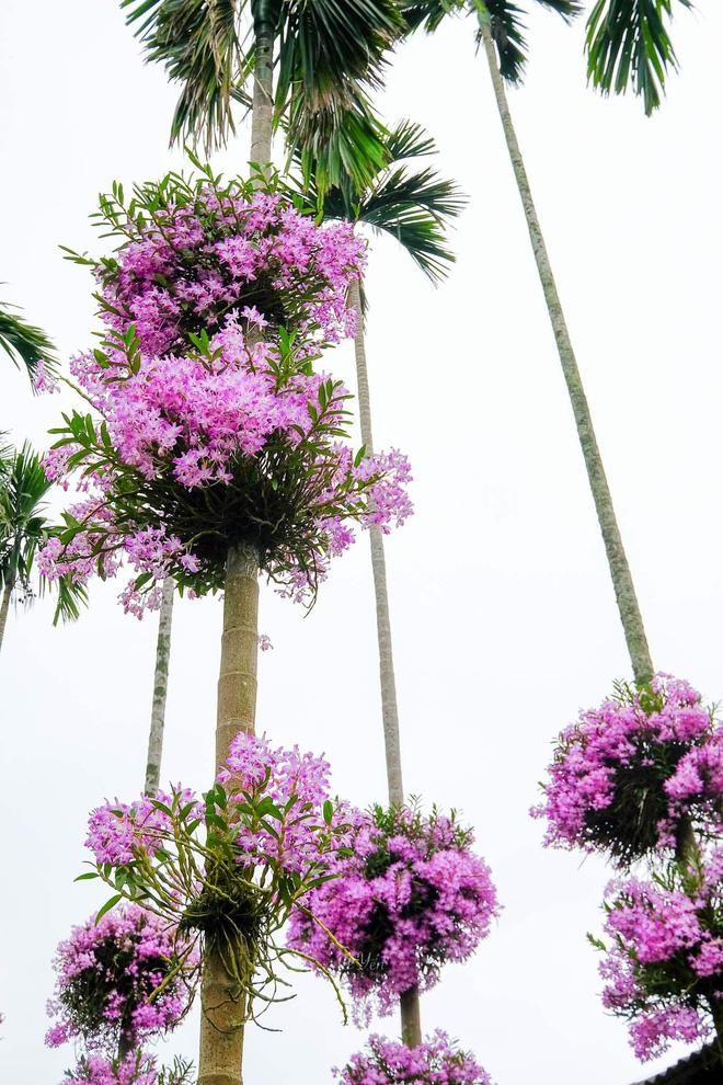 Cận cảnh vườn lan tím tuyệt đẹp treo trên hàng cây cau khiến ai cũng phải trầm trồ thích thú - Ảnh 5.