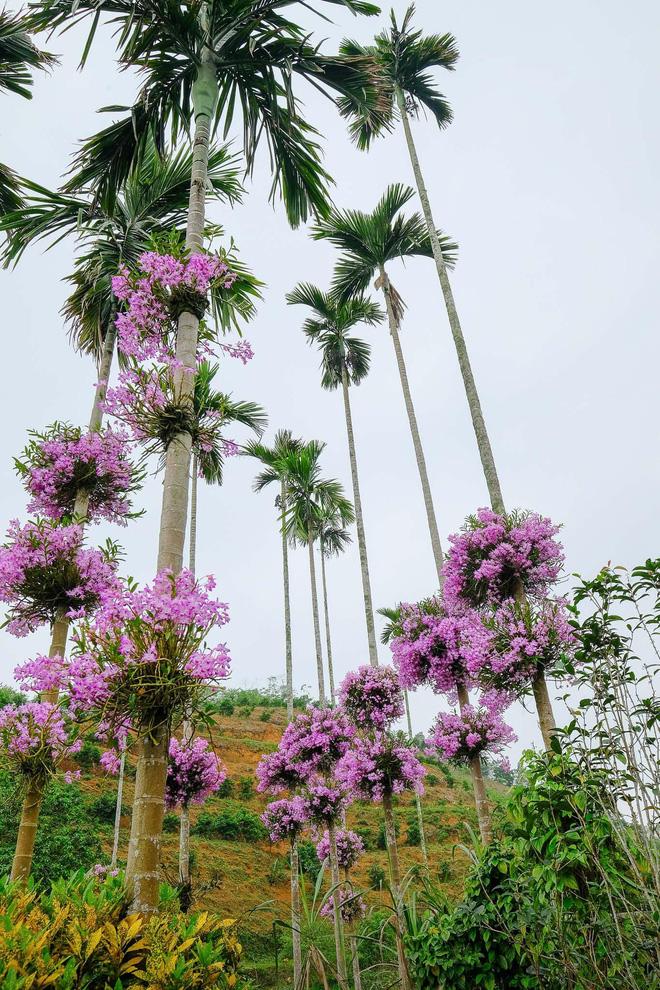 Cận cảnh vườn lan tím tuyệt đẹp treo trên hàng cây cau khiến ai cũng phải trầm trồ thích thú - Ảnh 6.