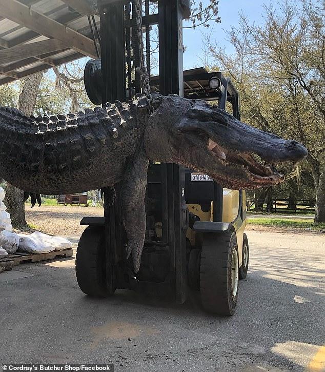 Mỹ: Mổ bụng cá sấu nặng 200kg, giật mình với những thứ bên trong - Ảnh 2.
