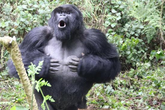 Sau 500 lần quan sát khỉ đột đập ngực, các nhà khoa học tìm ra câu trả lời tại sao chúng lại thường xuyên làm vậy - Ảnh 5.