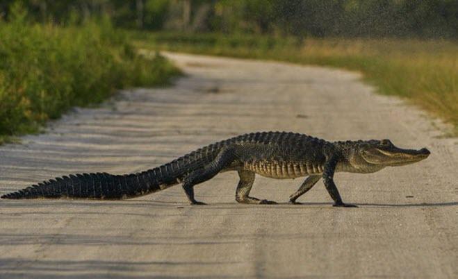 24h qua ảnh: Cá sấu thản nhiên băng qua đường ở Mỹ - Ảnh 3.