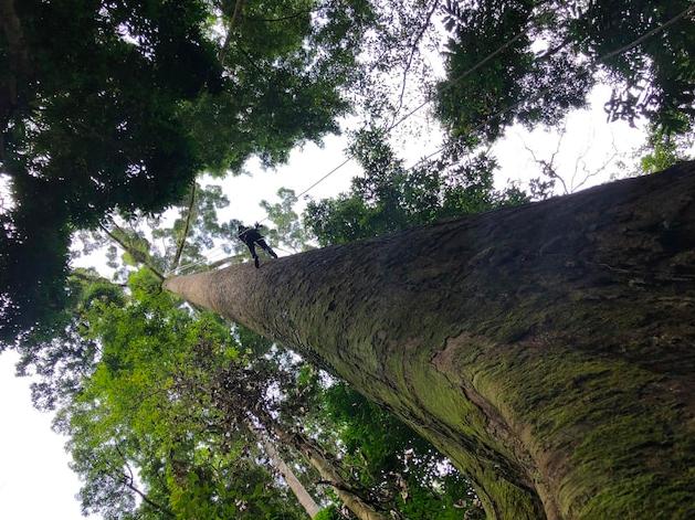 Phát hiện cây nhiệt đới cao nhất thế giới ở Malaysia, nặng gấp đôi chiếc Boeing 737-800 - Ảnh 1.