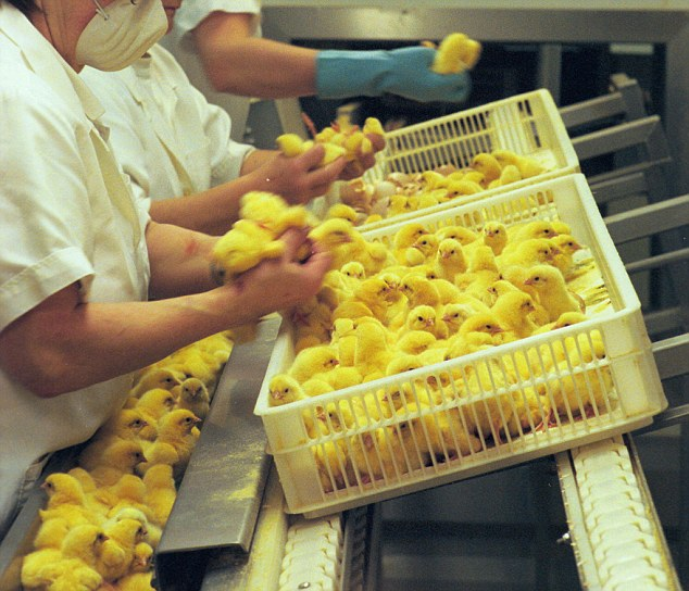 Nước Mỹ treo giải thưởng gấp 5 lần Nobel, cho ai nghĩ ra cách cứu sống 7 tỷ con gà trống mỗi năm - Ảnh 1.