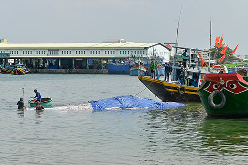 Một số hình ảnh đưa cá voi nặng hơn 4 tấn vào bờ - Ảnh 2.