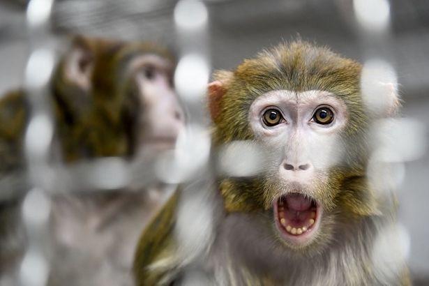 Sốc: Thí nghiệm phôi lai giữa người và khỉ gây chấn động giới khoa học - Ảnh 1.