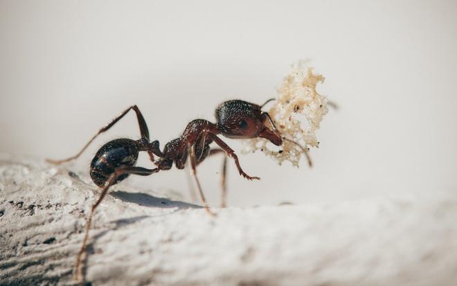 Nghiên cứu: Cách ly xã hội ảnh hưởng đến loài kiến cũng giống như cách con người khi bị cô lập - Ảnh 1.