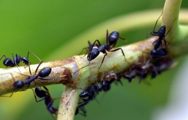 Nghiên cứu: Cách ly xã hội ảnh hưởng đến loài kiến cũng giống như cách con người khi bị cô lập - Ảnh 2.
