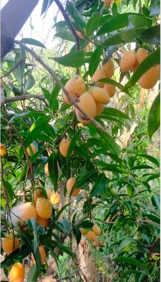 Cô gái khoe một loại cây mọc hoang sau vườn nhưng cho quả trĩu cả cành, dân thành thị nhìn vào còn lâu mới biết tên - Ảnh 3.