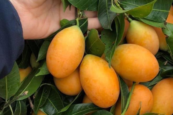 Cô gái khoe một loại cây mọc hoang sau vườn nhưng cho quả trĩu cả cành, dân thành thị nhìn vào còn lâu mới biết tên - Ảnh 9.