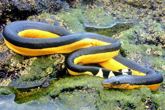 Những 'kỷ lục gia' đáng sợ trong thế giới loài rắn: Từ độc nhất tới dài nhất, cá thể nào cũng khiến con người phải rùng mình - Ảnh 3.