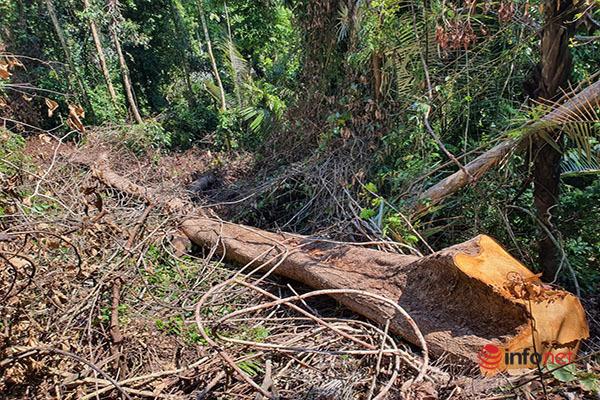 Huế: Rừng Tùng Ta Lăng chảy máu, nhiều cây khủng bị chặt hạ, cắt xẻ ngổn ngang - Ảnh 1.
