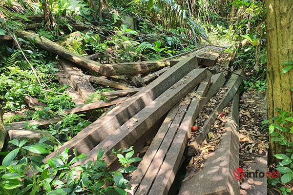 Huế: Rừng Tùng Ta Lăng chảy máu, nhiều cây khủng bị chặt hạ, cắt xẻ ngổn ngang - Ảnh 2.
