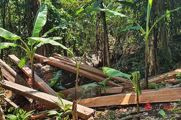 Huế: Rừng Tùng Ta Lăng chảy máu, nhiều cây khủng bị chặt hạ, cắt xẻ ngổn ngang - Ảnh 12.