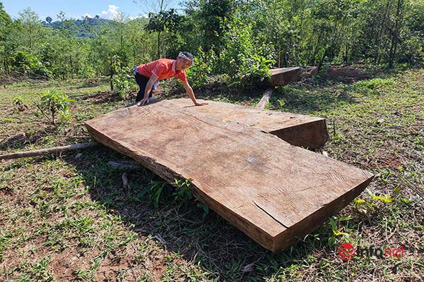 Huế: Rừng Tùng Ta Lăng chảy máu, nhiều cây khủng bị chặt hạ, cắt xẻ ngổn ngang - Ảnh 15.