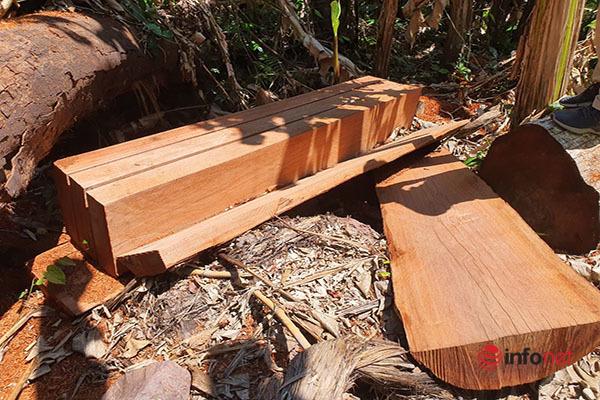 Huế: Rừng Tùng Ta Lăng chảy máu, nhiều cây khủng bị chặt hạ, cắt xẻ ngổn ngang - Ảnh 3.