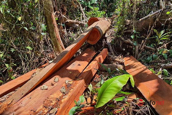 Huế: Rừng Tùng Ta Lăng chảy máu, nhiều cây khủng bị chặt hạ, cắt xẻ ngổn ngang - Ảnh 4.