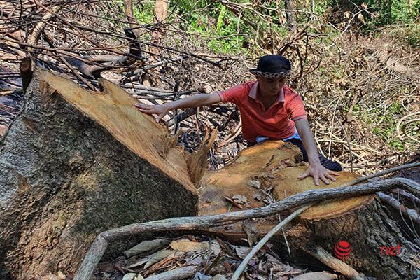 Huế: Rừng Tùng Ta Lăng chảy máu, nhiều cây khủng bị chặt hạ, cắt xẻ ngổn ngang - Ảnh 6.