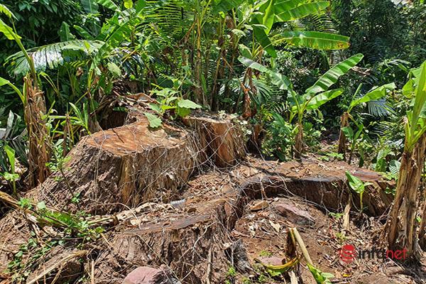 Huế: Rừng Tùng Ta Lăng chảy máu, nhiều cây khủng bị chặt hạ, cắt xẻ ngổn ngang - Ảnh 7.