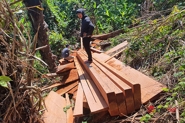 Huế: Rừng Tùng Ta Lăng chảy máu, nhiều cây khủng bị chặt hạ, cắt xẻ ngổn ngang - Ảnh 8.