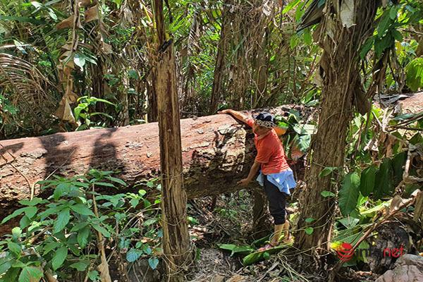 Huế: Rừng Tùng Ta Lăng chảy máu, nhiều cây khủng bị chặt hạ, cắt xẻ ngổn ngang - Ảnh 10.