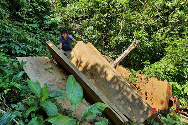 Huế: Rừng Tùng Ta Lăng chảy máu, nhiều cây khủng bị chặt hạ, cắt xẻ ngổn ngang - Ảnh 11.