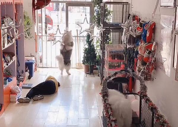 Đang tập thể dục lại thấy người bị ngất, chú chó husky có phản ứng gây ngỡ ngàng - Ảnh 2.