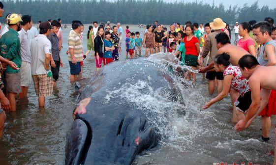 Những lần cá voi dạt vào vùng biển nước ta - con lớn nhất gấp 7 lần con ở Hải Phòng 002