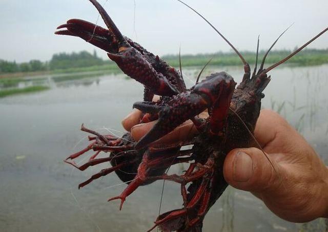 Một tỉnh ở Trung Quốc đã mất 10 năm chiến đấu với tôm hùm: Tôm hùm tràn lan khắp nơi nhưng không thể ăn, vì sao? - Ảnh 5.