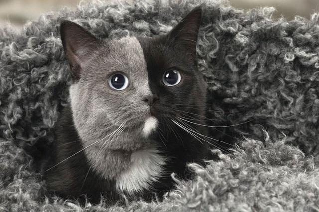 Những con mèo mặt hai màu kỳ lạ nổi tiếng nhất thế giới - Ảnh 4.