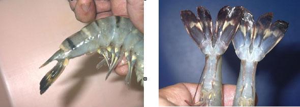 Chuyên gia Nguyễn Duy Thịnh: 10kg tôm có thể bị bơm tới 2kg tạp chất, cách để nhận biết tôm bẩn - Ảnh 7.