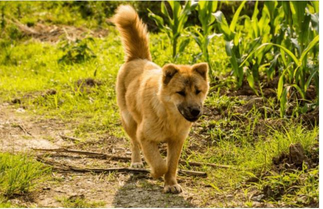 9 loài chó có tuổi thọ thấp nhất thế giới: Đừng nuôi vì bạn sẽ buồn khi chúng rời xa! - Ảnh 2.