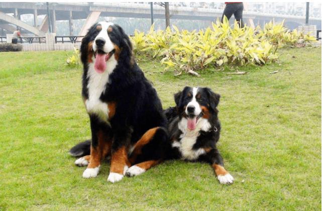 9 loài chó có tuổi thọ thấp nhất thế giới: Đừng nuôi vì bạn sẽ buồn khi chúng rời xa! - Ảnh 6.