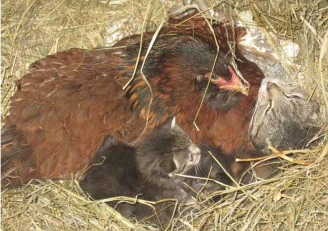 Gà mái tự nhiên ít khi ra khỏi ổ dù không đẻ hay ấp trứng, lại gần kiểm tra, cảnh tượng bên trong ổ gà khiến lão nông đờ người - Ảnh 3.