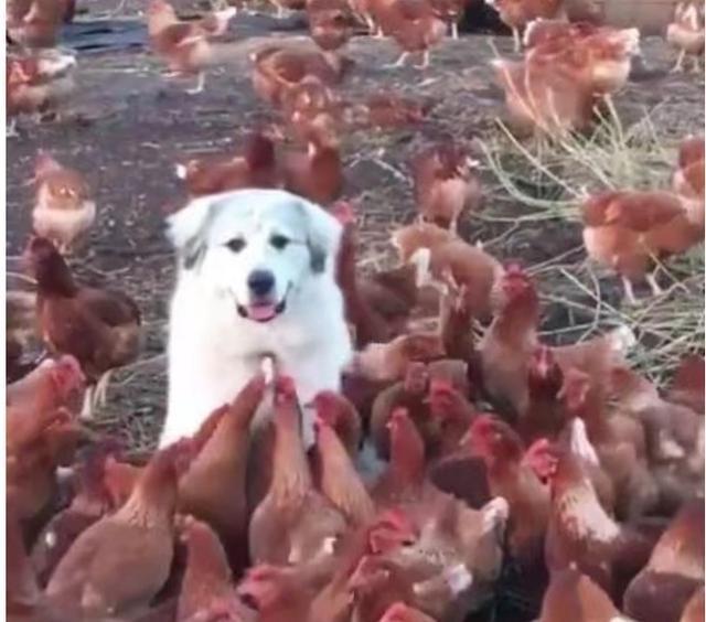 Có việc phải ra ngoài nên để chó trông coi chuồng gà, đến khi trở về, chủ nhân sửng sốt trước những gì nhìn thấy - Ảnh 2.