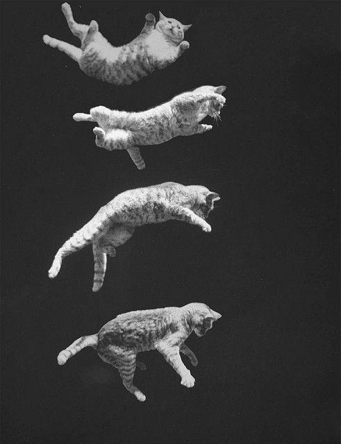 Tại sao mèo có thể ngã từ tầng 32 xuống đất mà vẫn sống sót? - Ảnh 1.