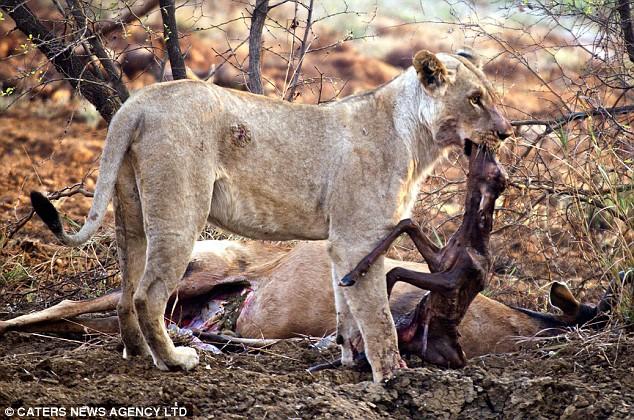 Sư tử phát hiện con mồi mình ăn thịt đang mang thai: Hành động tiếp theo của nó khiến du khách chết lặng! - Ảnh 2.