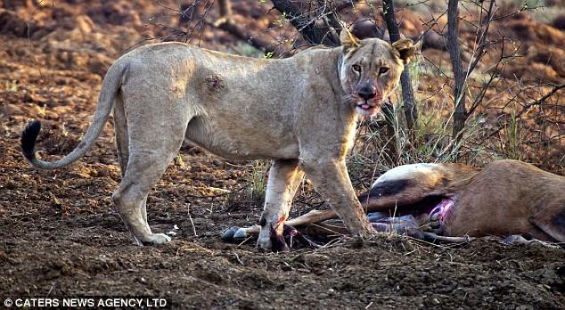 Sư tử phát hiện con mồi mình ăn thịt đang mang thai: Hành động tiếp theo của nó khiến du khách chết lặng! - Ảnh 1.