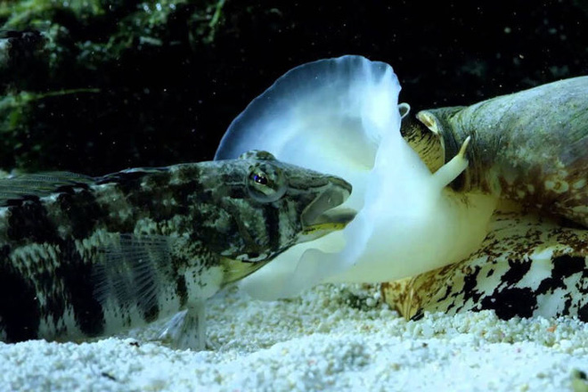 Chỉ một giọt nọc độc có thể giết chết 20 người, đây có lẽ chính là loài ốc nguy hiểm nhất thế giới! - Ảnh 5.