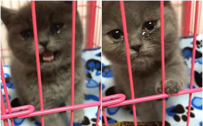 Đi làm về thấy mèo khóc thảm thiết, chủ nhân hốt hoảng rồi dở khóc dở cười khi phát hiện nguyên nhân phía sau
