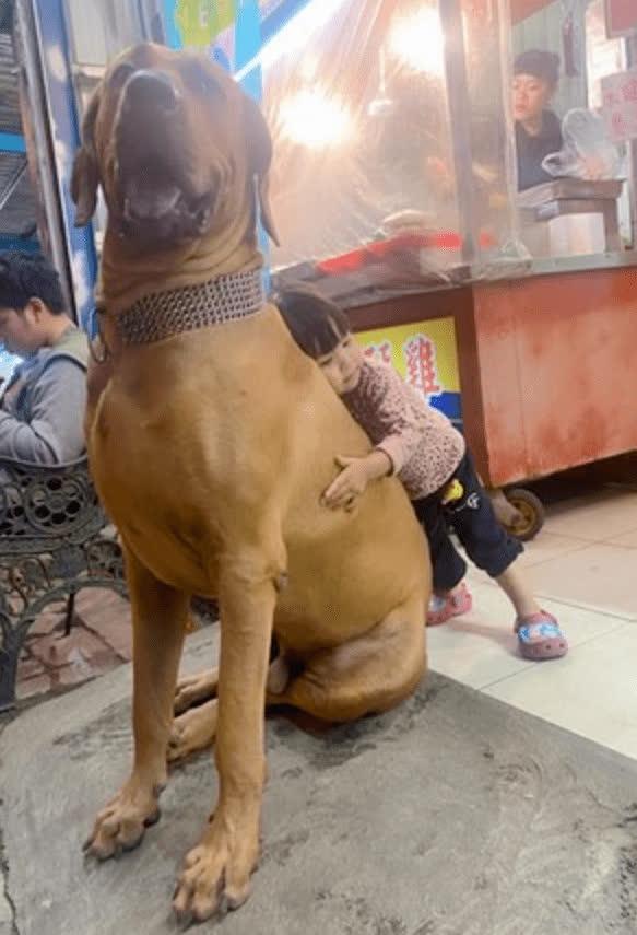 Bị bà chủ quên không cho ăn cơm, chú chó khổng lồ lập tức tìm ông chủ mách tội, bộ dạng nhìn đã thấy buồn cười - Ảnh 1.