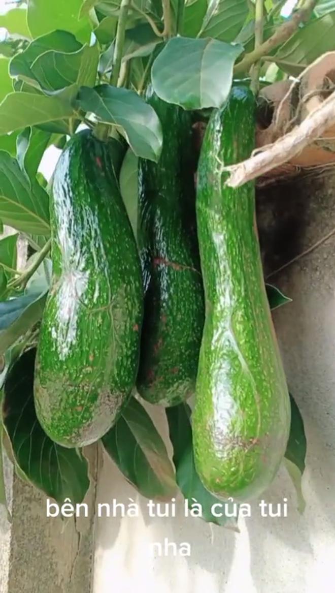 Anh hàng xóm số hưởng nhất Việt Nam: Không trồng bơ nhưng vẫn có ăn, quả nào quả nấy cũng khổng lồ và mọc trĩu cả cành - Ảnh 3.
