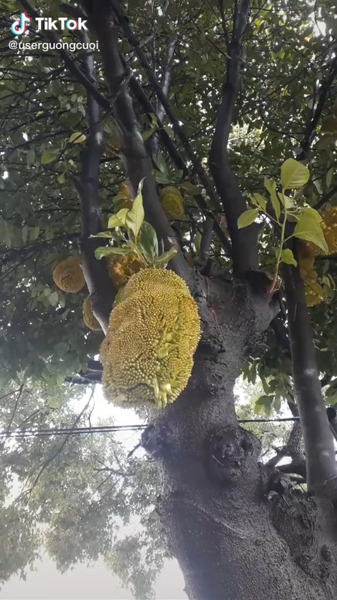 Nhà trồng được cây mít trĩu quả, chưa kịp mừng thì toàn bộ đều lòi cả múi ra ngoài: Dân mạng xem xong ai cũng cảm thấy rùng mình - Ảnh 2.