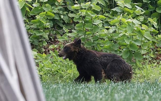 Video: Gấu nâu đại náo thành phố Nhật Bản, tấn công doanh trại quân đội - Ảnh 3.