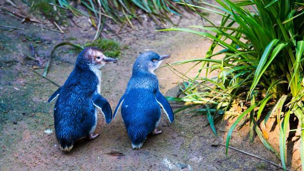 Hơn 6000 con chim cánh cụt bị quét sạch tại một hòn đảo vì sự xuất hiện của một con quỷ - Ảnh 1.