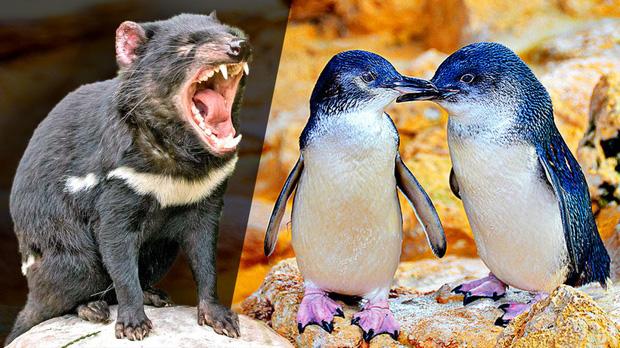 Hơn 6000 con chim cánh cụt bị quét sạch tại một hòn đảo vì sự xuất hiện của một con quỷ - Ảnh 4.