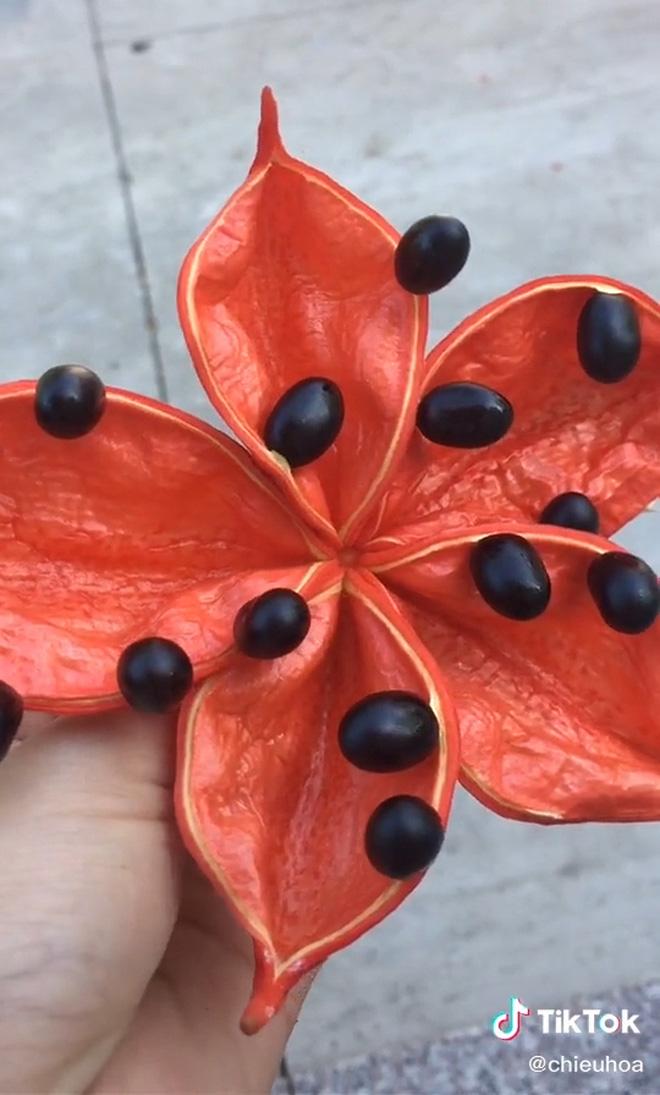 Hiếm ai biết ở Việt Nam có một loại quả đẹp như hoa, nghe tên cực sảng và đã trở thành tuổi thơ của bao người - Ảnh 3.